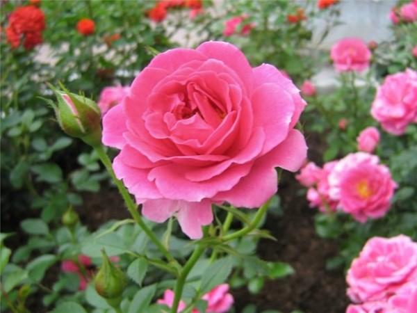 Роза – самый эффективный и неприхотливый цветок для выращивания в сибирском климате
