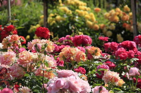 Роза – цветок, с которым связаны легенды и самые удивительные любовные истории
