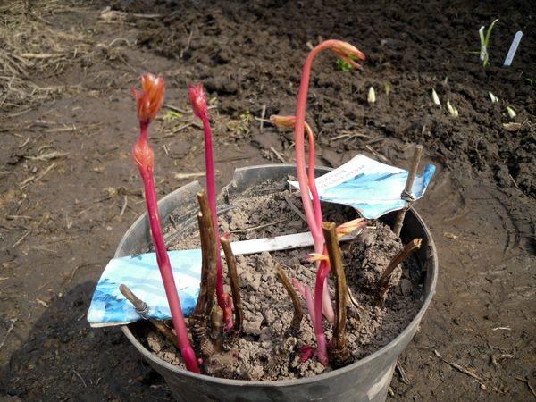 Садоводы рекомендуют делить и пересаживать пионы осенью