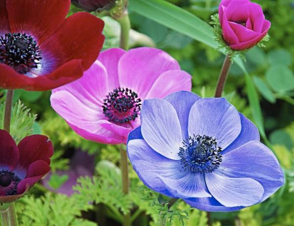 Садовые цветы – Анемона