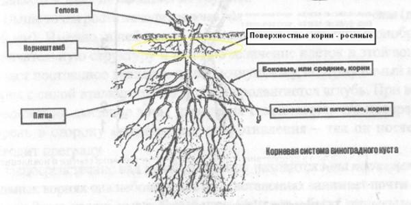Схематическое изображение корневой системы винограда с описанием ее частей