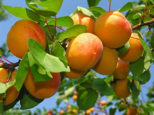 Сибирский абрикос