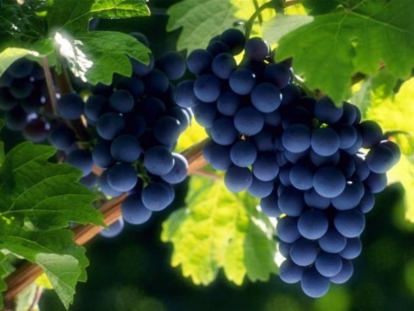 Сочные созревшие плоды
