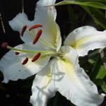 Сорт «Lilium White American»
