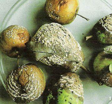 Такие плоды вполне могут сохраниться с лета, их обязательно нужно удалить