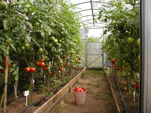 Теплица для всесезонного выращивания помидоров.