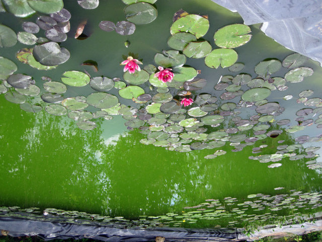 Цветущая вода выглядит не очень эстетично