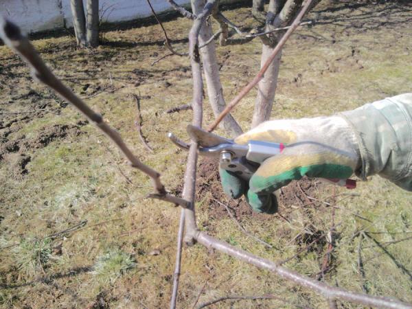 Удавление избыточных ветвей с использованием секатора