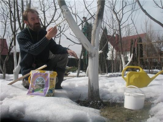 Уход за садом в марте – побелка стволов и веток деревьев предостерегает их от ожогов