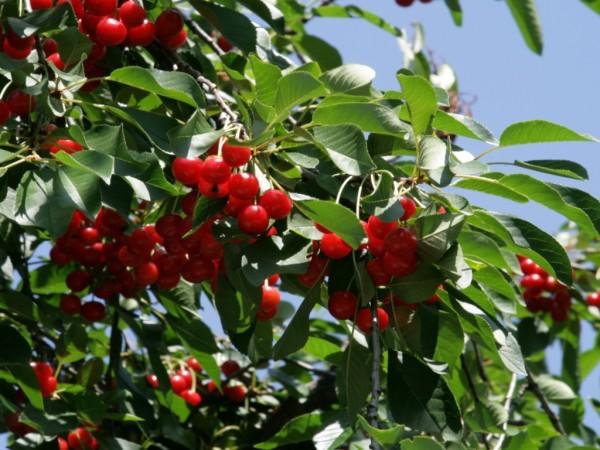Вишня – одна из наиболее распространенных ягод