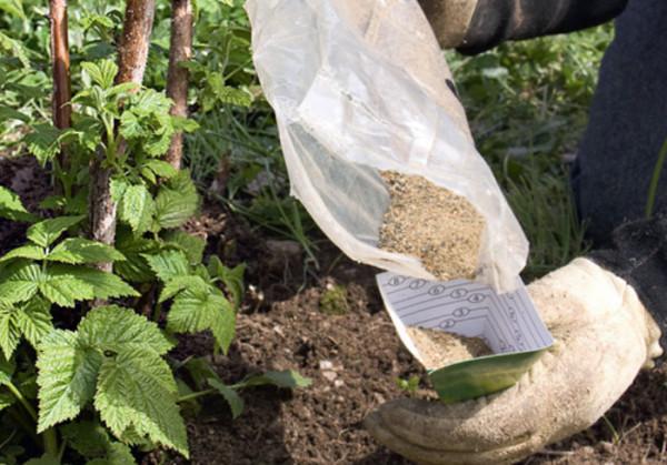 Внесение удобрений – важнейшее условие для благоприятного произрастания малины.