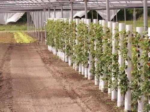 Выращивание клубники в трубе