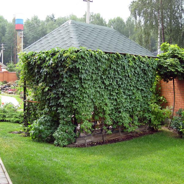 Вьющиеся растения незаменимы, когда нужно создать живую стену