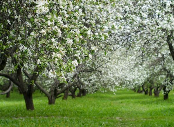 Яблоневый сад в период цветения