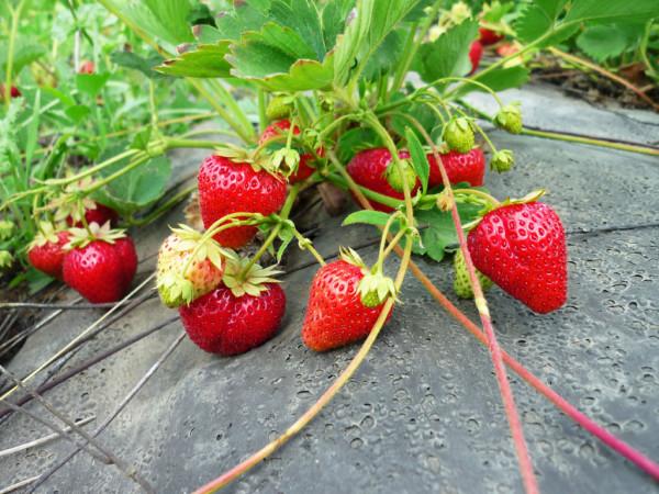Яркие красные ягодки манят своею красотой не только людей, но и всевозможную живность, желающую полакомиться сочными плодами