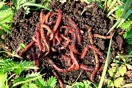 Земля, переработанная дождевым червем (гумус) – крайне важна на участке, особенно, если вы высадили молодые растения