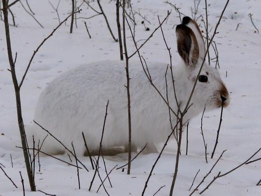 Зимний охотник на кору деревьев