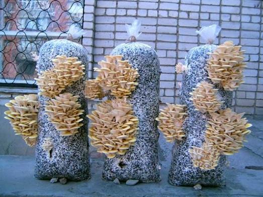 Зрелые грибные гроздья срезают, а место их прорастания заклеивают скотчем