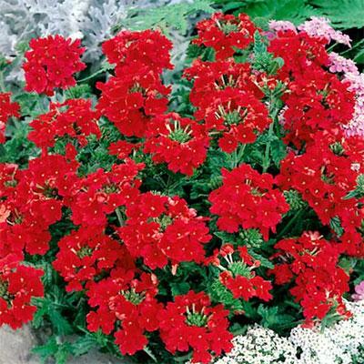 Красные уличные цветы фото