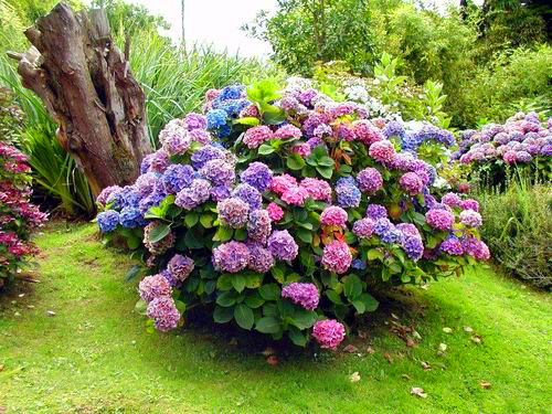 гортензия фото садовая посадка и уход