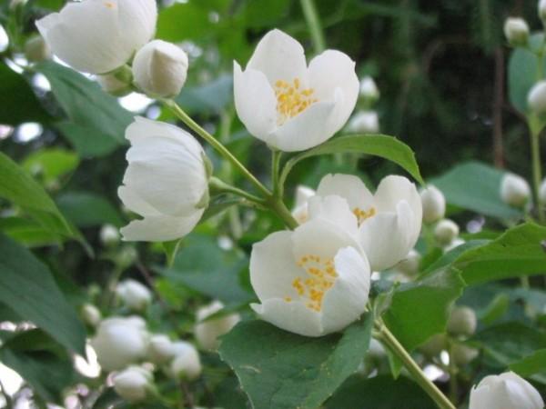 Белоснежный жасмин станет настоящим украшением сада