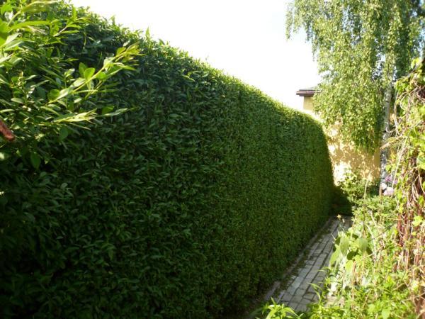Бирючина относится к семейству Маслиновых, имеет плотную листву и хорошо поддается стрижке