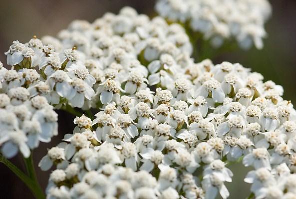 Благородный тысячелистник цветет в июне