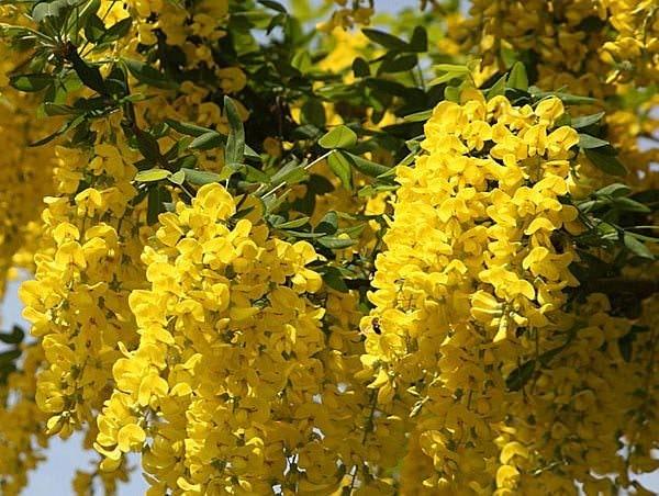 Бобовник садовый – золотой дождь