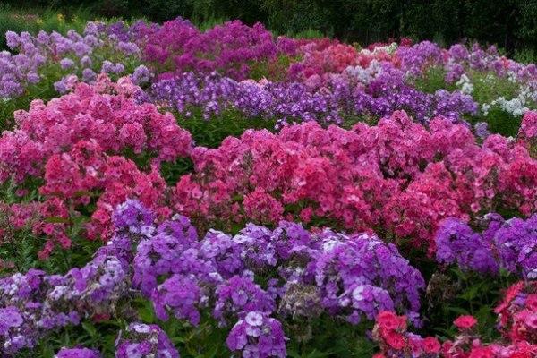 Буйство цвета и очарование аромата – флоксы