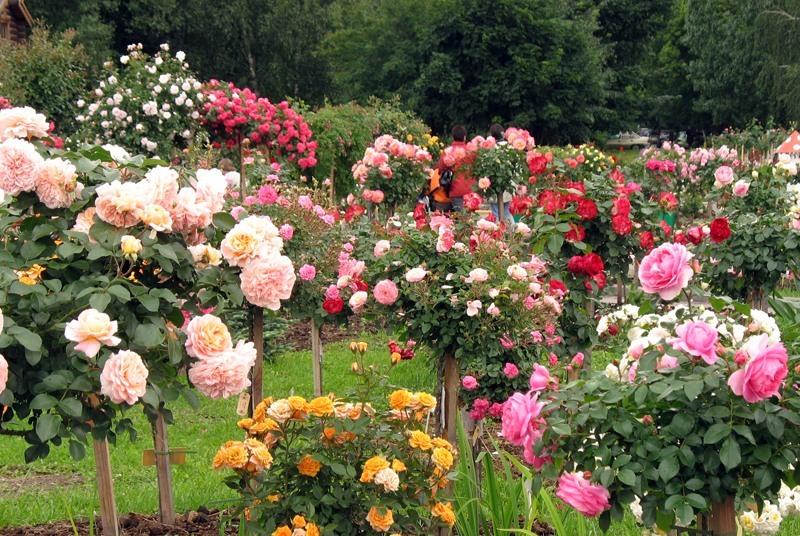 Чайно-гибридные многолетние розы для дачи.