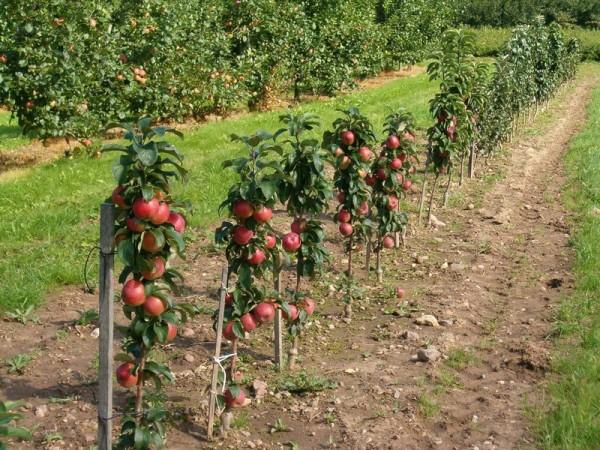 Даже на таких маленьких деревцах можно получать хороший урожай