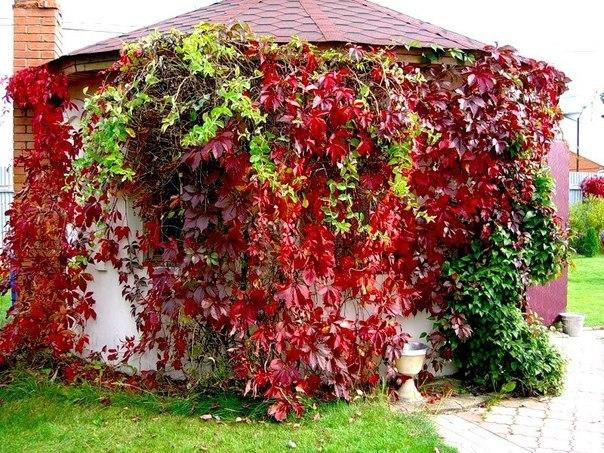 Девичий виноград (фото сделано в начале осени)