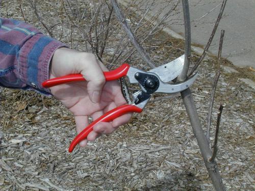 Для подрезки лучше использовать садовый секатор (на фото)