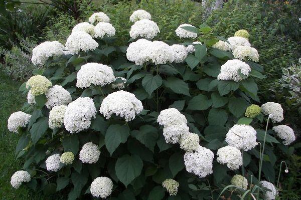 Древовидная гортензия выделяется обильным цветением
