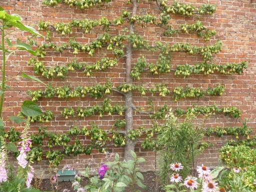 Еще один непростой вариант шпалерной изгороди из фруктового дерева. Для реализации данного метода, шпалеры натягивают только вдоль стены, используют кордоны и пальметты, сетка-рабица в данном случае не эффективна