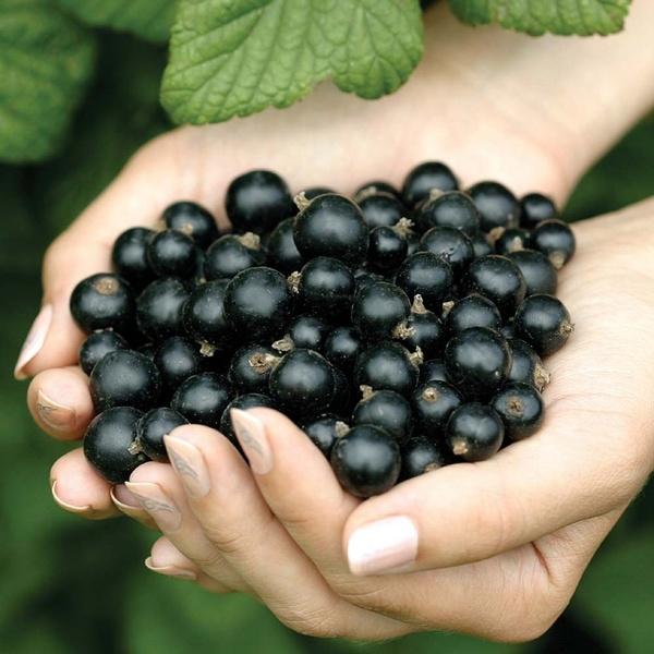 Эту полезную ягоду можно с успехом выращивать своими руками