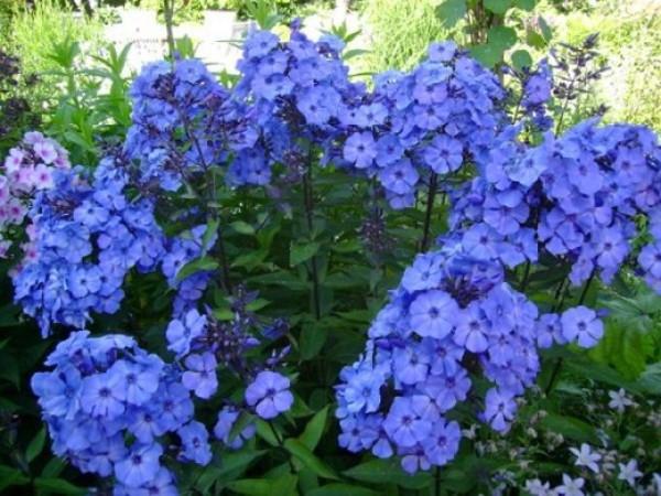 Флоксы – идеальное оформление садовых дорожек