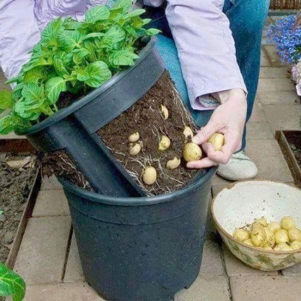 Горшок для картошки