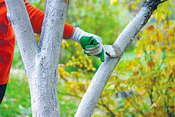 Побелка нижней части ствола дерева защищает его от неблагоприятного воздействия внешней среды