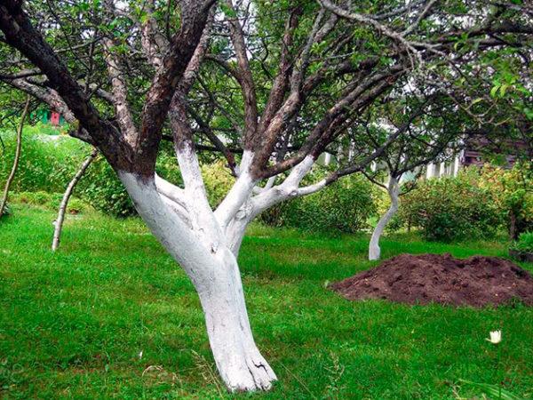 Дерево белится от корня до веток на кронах