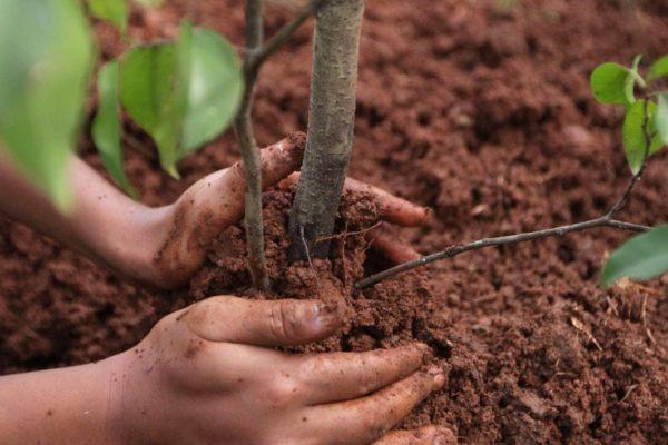 Когда сажать саженцы плодовых и хвойных деревьев