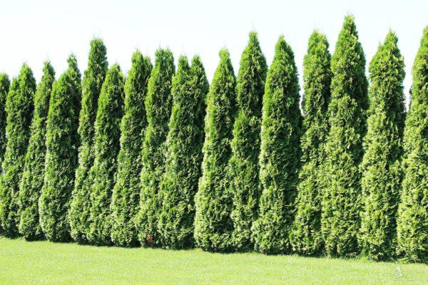 Хвойные деревья лучше приживаются осенью