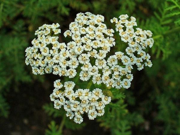 Фото белоснежных цветков многолетнего растения