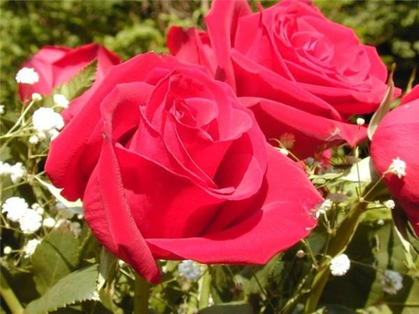 Фото садовой розы.