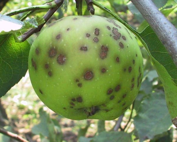 Фото яблока, поражённого паршой