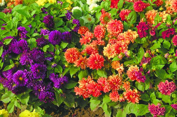 Георгины – очарование цветом
