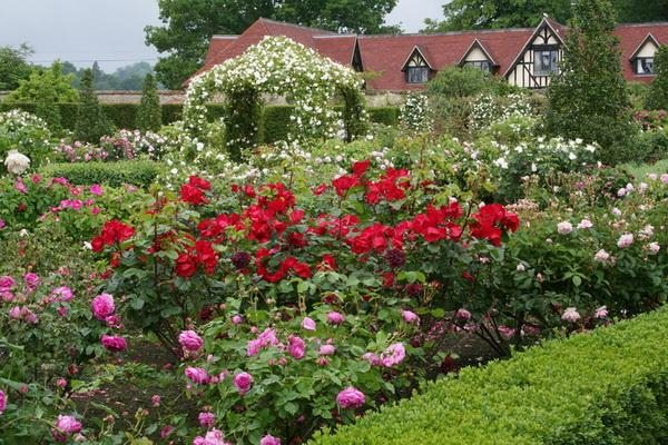 Главная наша цель - создать постоянно цветущий роскошный розарий.