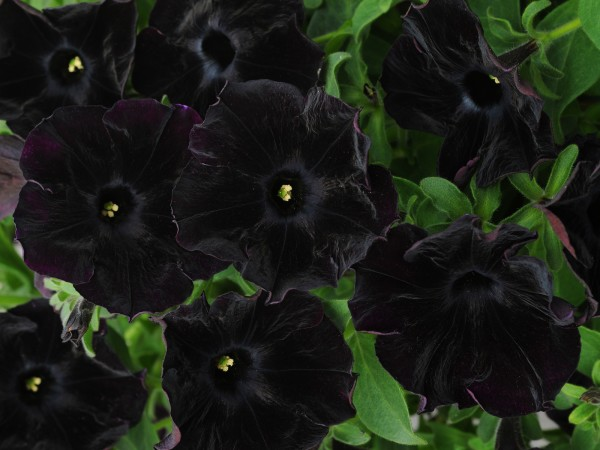 Хотите изюминку в свой сад? Петуния Crazytunia Black Mamba