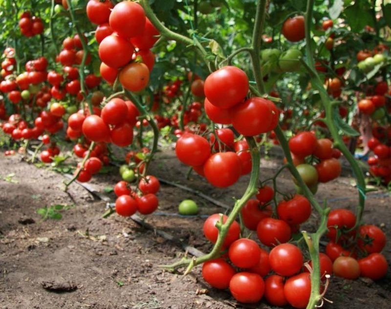 как сеять семена помидоров галина кизима