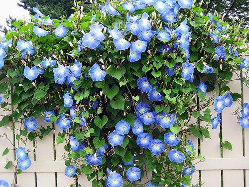 Ипомея – однолетка голубоглазка. Цена семян всего лишь 12-15 рублей, а красота бесценная!